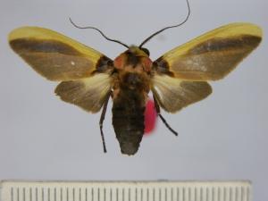 Cratoplastis_catherinae